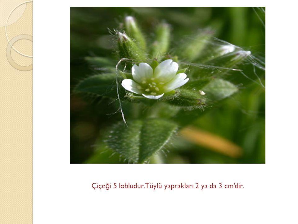 Çiçeği 5 lobludur.Tüylü yaprakları 2 ya da 3 cm'dir.