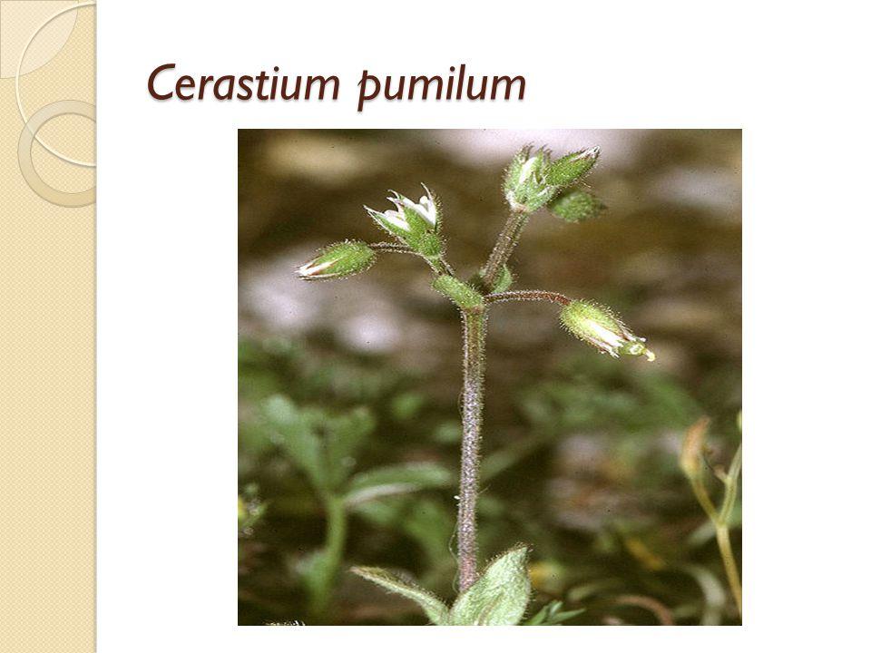 Cerastium pumilum