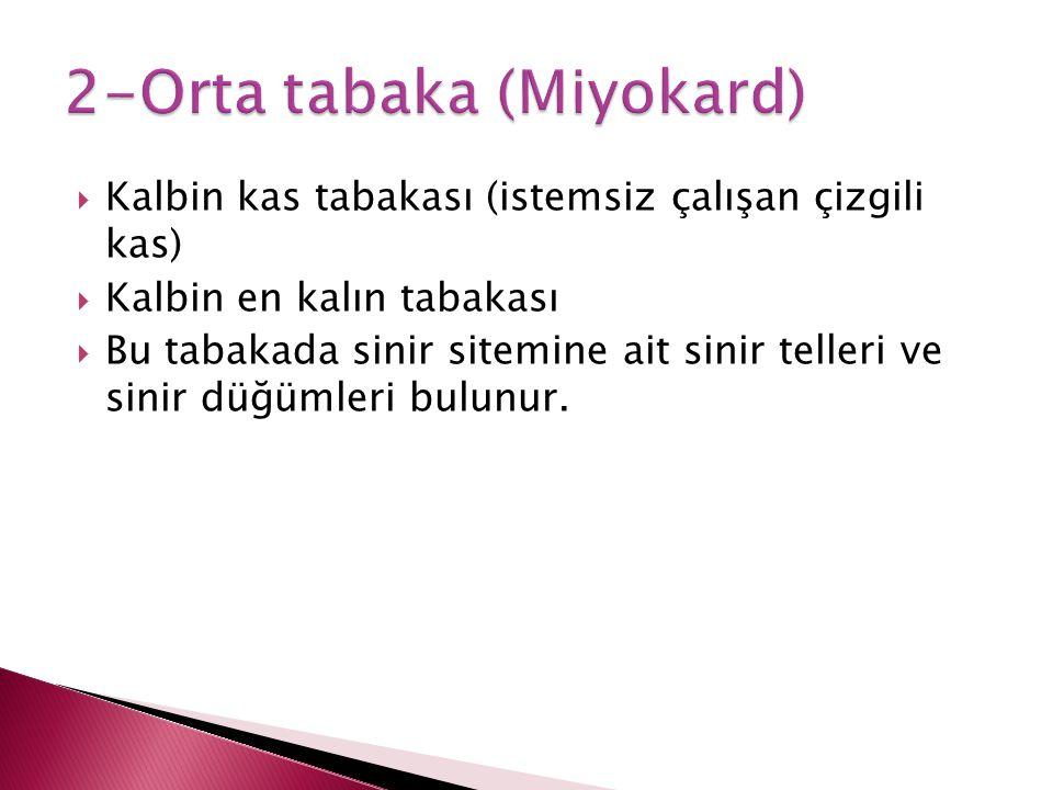 2-Orta tabaka (Miyokard)