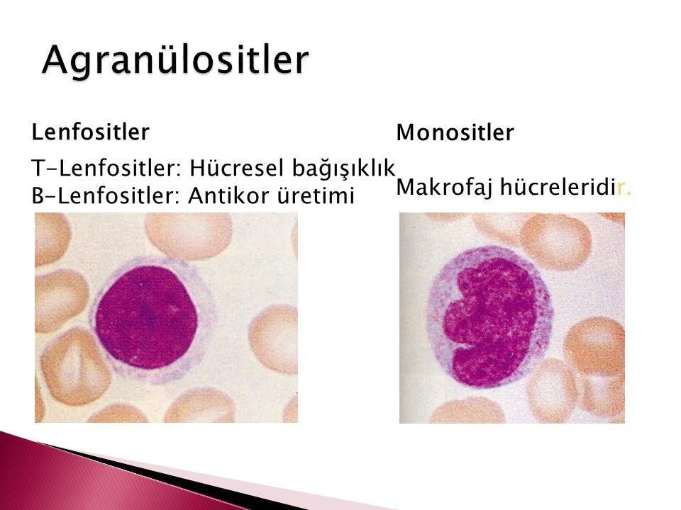 Agranülositler Lenfositler Monositler Makrofaj hücreleridir.