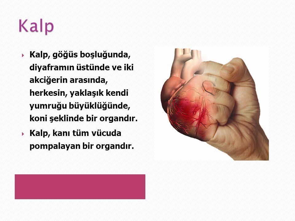 Kalp Kalp, göğüs boşluğunda, diyaframın üstünde ve iki akciğerin arasında, herkesin, yaklaşık kendi yumruğu büyüklüğünde, koni şeklinde bir organdır.