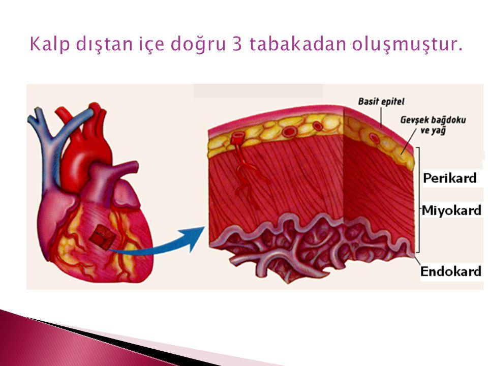 Kalp dıştan içe doğru 3 tabakadan oluşmuştur.