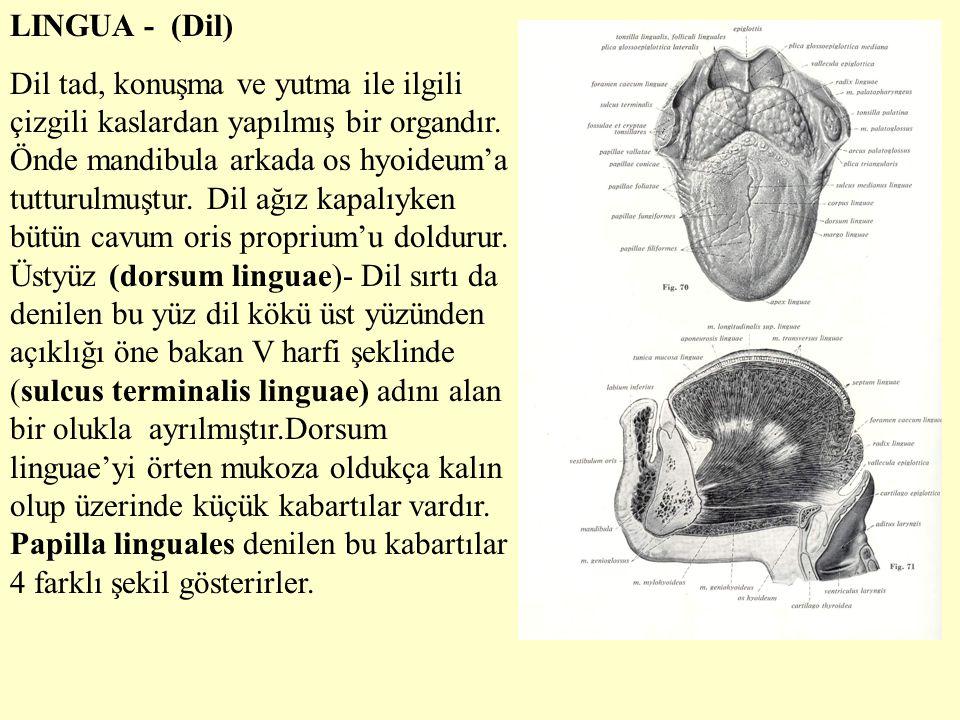 LINGUA - (Dil)