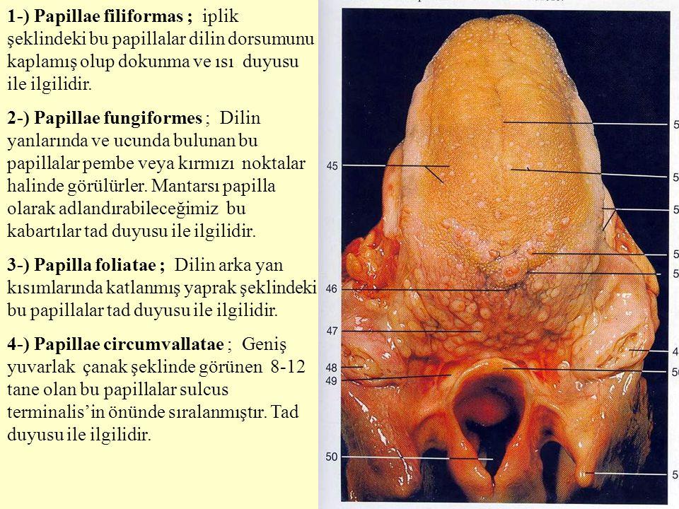 1-) Papillae filiformas ; iplik şeklindeki bu papillalar dilin dorsumunu kaplamış olup dokunma ve ısı duyusu ile ilgilidir.