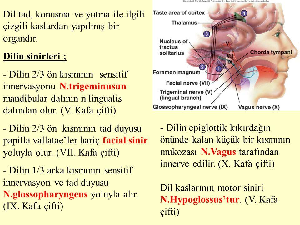 Dil tad, konuşma ve yutma ile ilgili çizgili kaslardan yapılmış bir organdır.