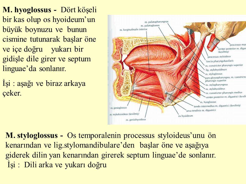 M. hyoglossus - Dört köşeli bir kas olup os hyoideum'un büyük boynuzu ve bunun cismine tutunarak başlar öne ve içe doğru yukarı bir gidişle dile girer ve septum linguae'da sonlanır.