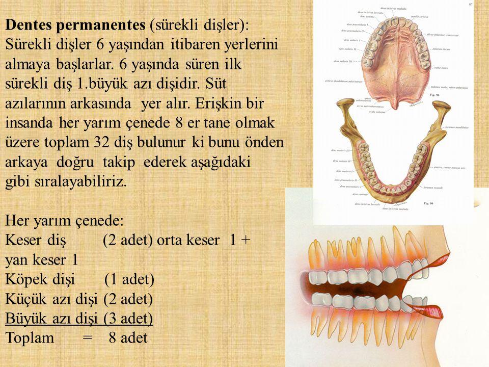 Dentes permanentes (sürekli dişler): Sürekli dişler 6 yaşından itibaren yerlerini almaya başlarlar. 6 yaşında süren ilk sürekli diş 1.büyük azı dişidir. Süt azılarının arkasında yer alır. Erişkin bir insanda her yarım çenede 8 er tane olmak üzere toplam 32 diş bulunur ki bunu önden arkaya doğru takip ederek aşağıdaki gibi sıralayabiliriz.