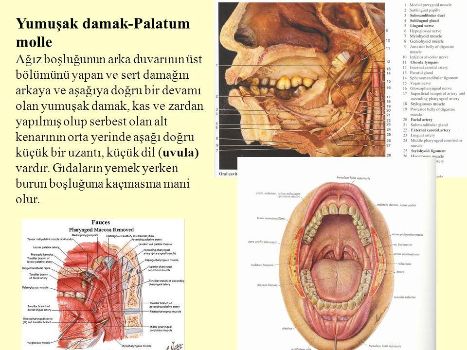 Yumuşak damak-Palatum molle