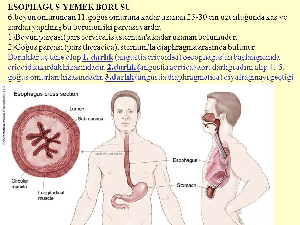 ESOPHAGUS-YEMEK BORUSU