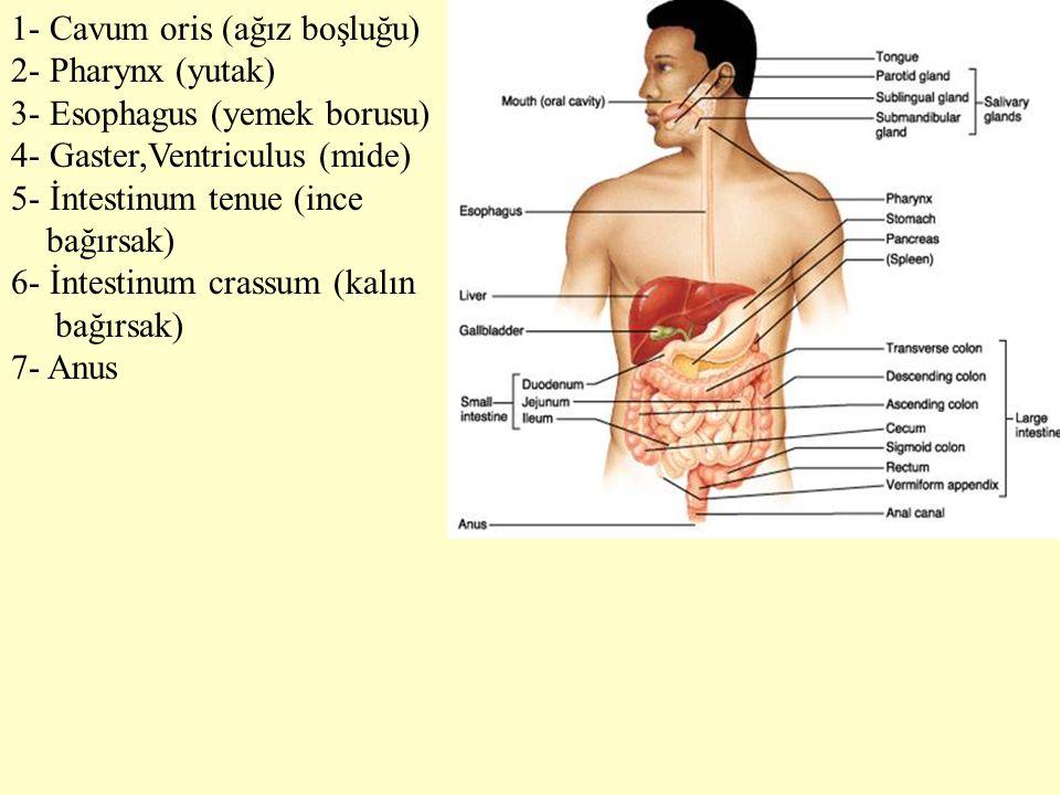 1- Cavum oris (ağız boşluğu)