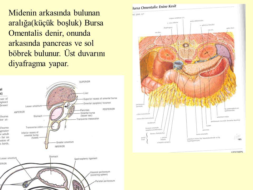 Midenin arkasında bulunan aralığa(küçük boşluk) Bursa Omentalis denir, onunda arkasında pancreas ve sol böbrek bulunur.