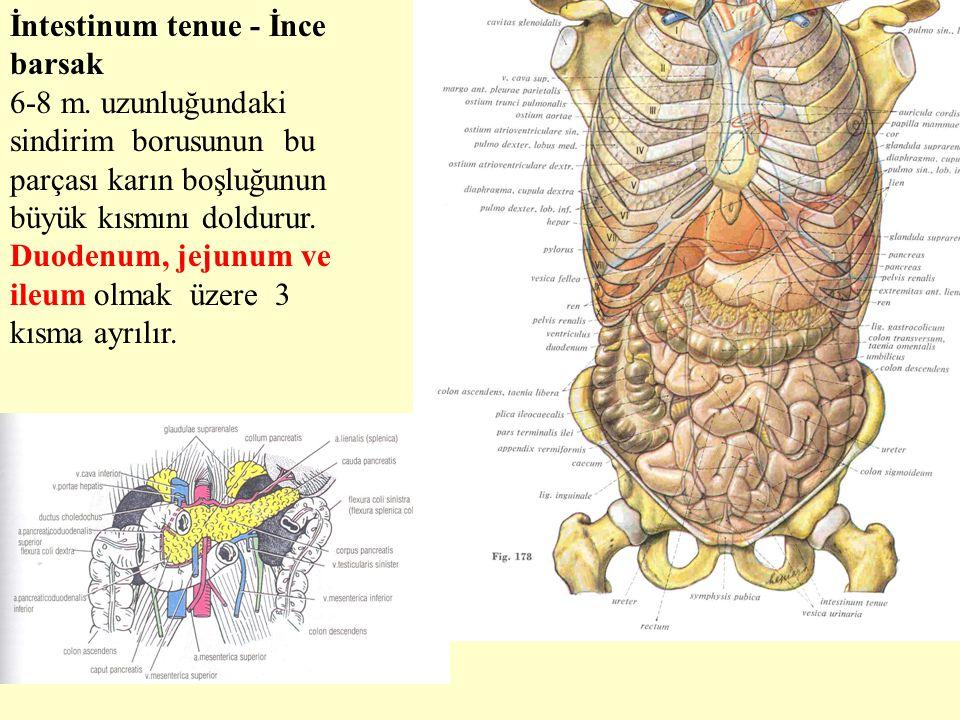 İntestinum tenue - İnce barsak