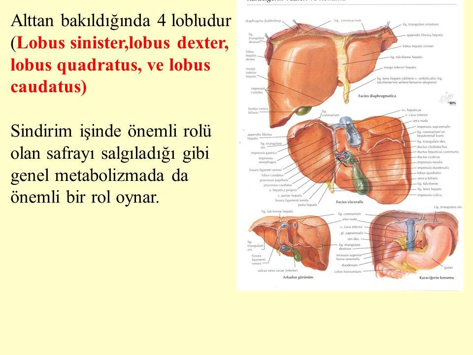 Alttan bakıldığında 4 lobludur (Lobus sinister,lobus dexter, lobus quadratus, ve lobus caudatus)