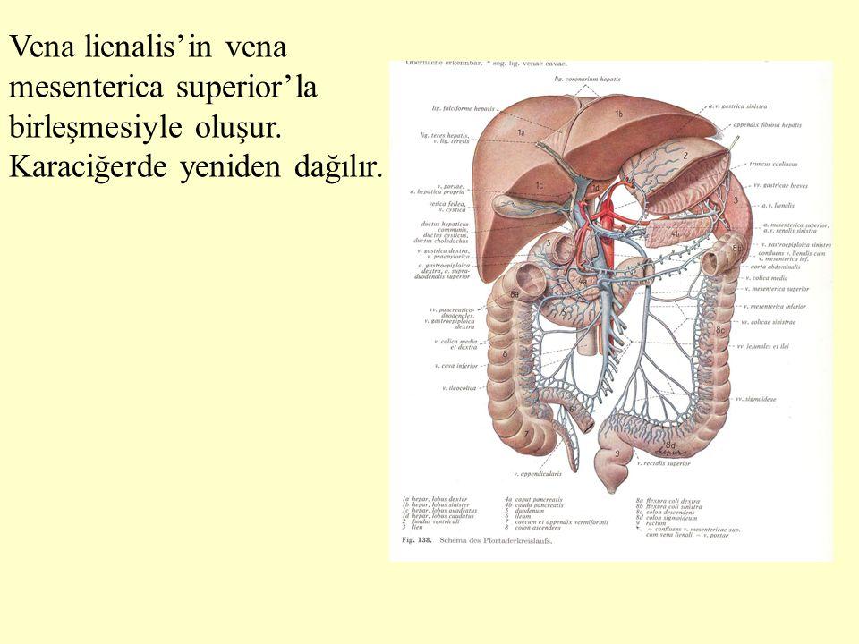 Vena lienalis'in vena mesenterica superior'la birleşmesiyle oluşur.