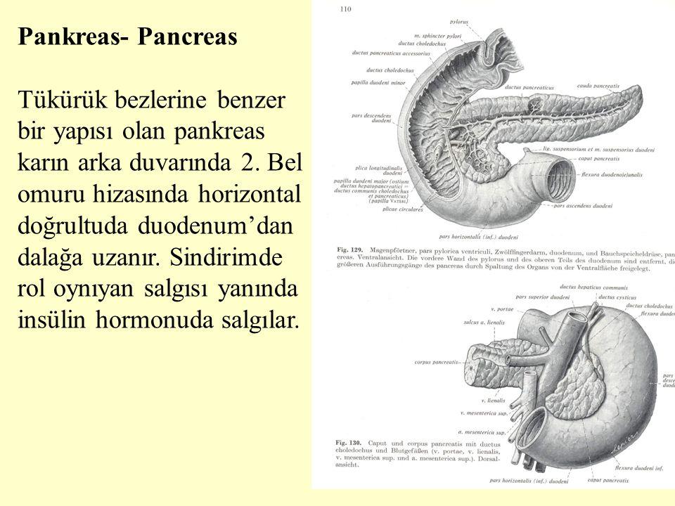 Pankreas- Pancreas