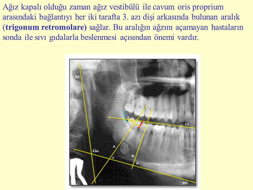 Ağız kapalı olduğu zaman ağız vestibülü ile cavum oris proprium arasındaki bağlantıyı her iki tarafta 3.