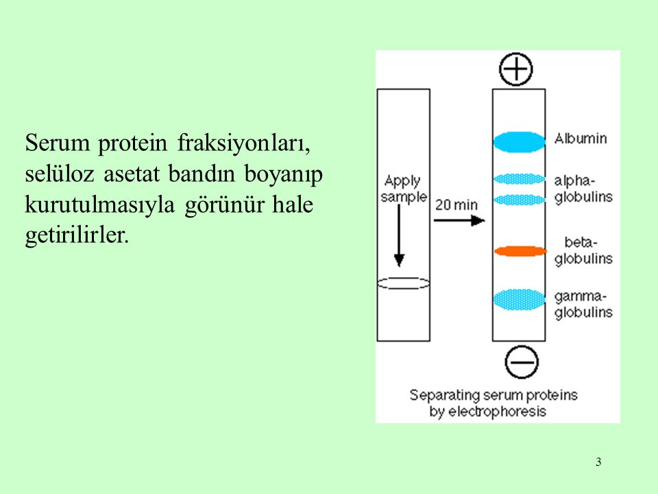 Serum protein fraksiyonları, selüloz asetat bandın boyanıp kurutulmasıyla görünür hale getirilirler.