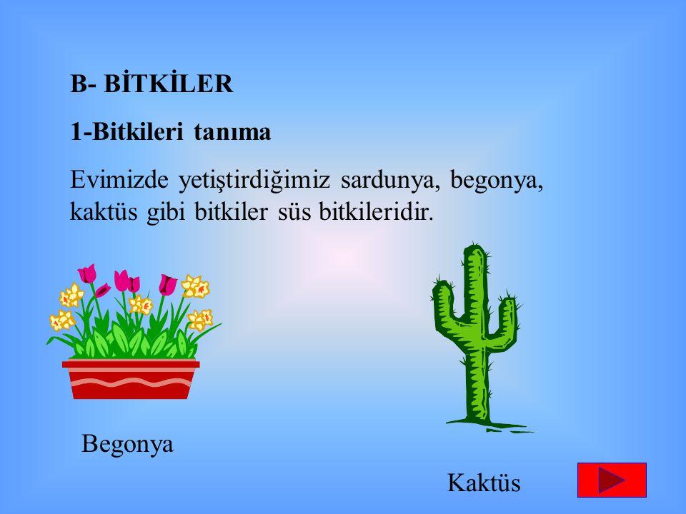 B- BİTKİLER 1-Bitkileri tanıma. Evimizde yetiştirdiğimiz sardunya, begonya, kaktüs gibi bitkiler süs bitkileridir.
