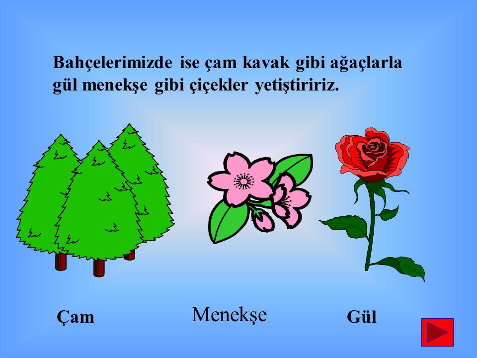 Bahçelerimizde ise çam kavak gibi ağaçlarla gül menekşe gibi çiçekler yetiştiririz.
