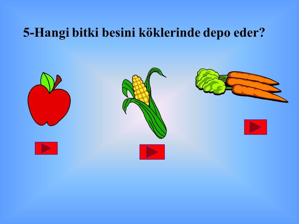 5-Hangi bitki besini köklerinde depo eder
