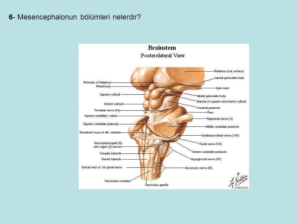 6- Mesencephalonun bölümleri nelerdir