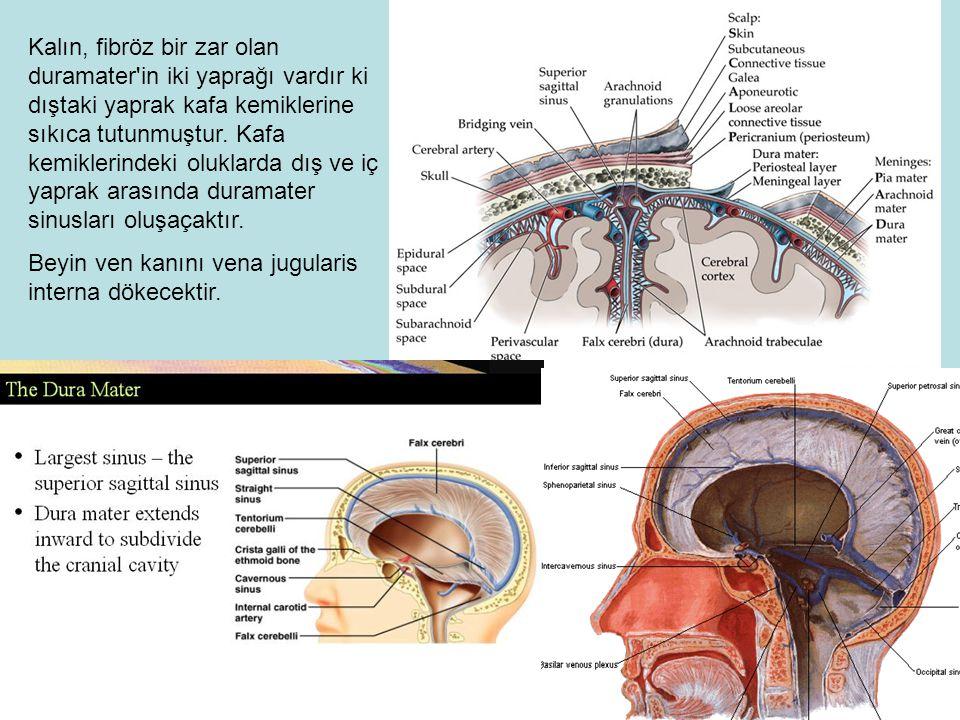 Kalın, fibröz bir zar olan duramater in iki yaprağı vardır ki dıştaki yaprak kafa kemiklerine sıkıca tutunmuştur. Kafa kemiklerindeki oluklarda dış ve iç yaprak arasında duramater sinusları oluşaçaktır.