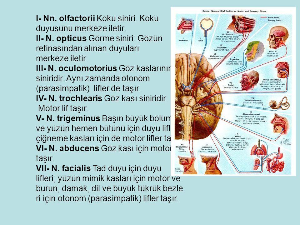 I- Nn. olfactorii Koku siniri. Koku duyusunu merkeze iletir.