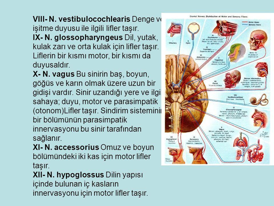 VIII- N. vestibulocochlearis Denge ve işitme duyusu ile ilgili lifler taşır.
