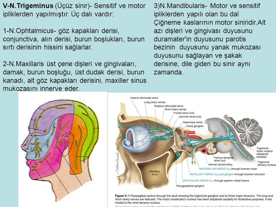 V-N.Trigeminus (Üçüz sinir)- Sensitif ve motor ipliklerden yapılmıştır. Üç dalı vardır: