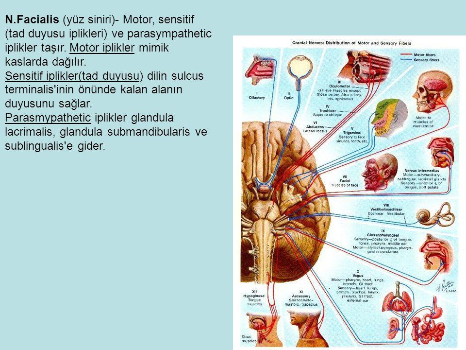 N.Facialis (yüz siniri)- Motor, sensitif (tad duyusu iplikleri) ve parasympathetic iplikler taşır. Motor iplikler mimik kaslarda dağılır.