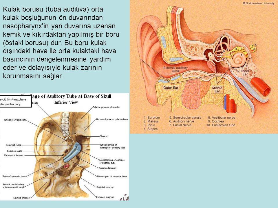 Kulak borusu (tuba auditiva) orta kulak boşluğunun ön duvarından nasopharynx in yan duvarına uzanan kemik ve kıkırdaktan yapılmış bir boru (östaki borusu) dur.