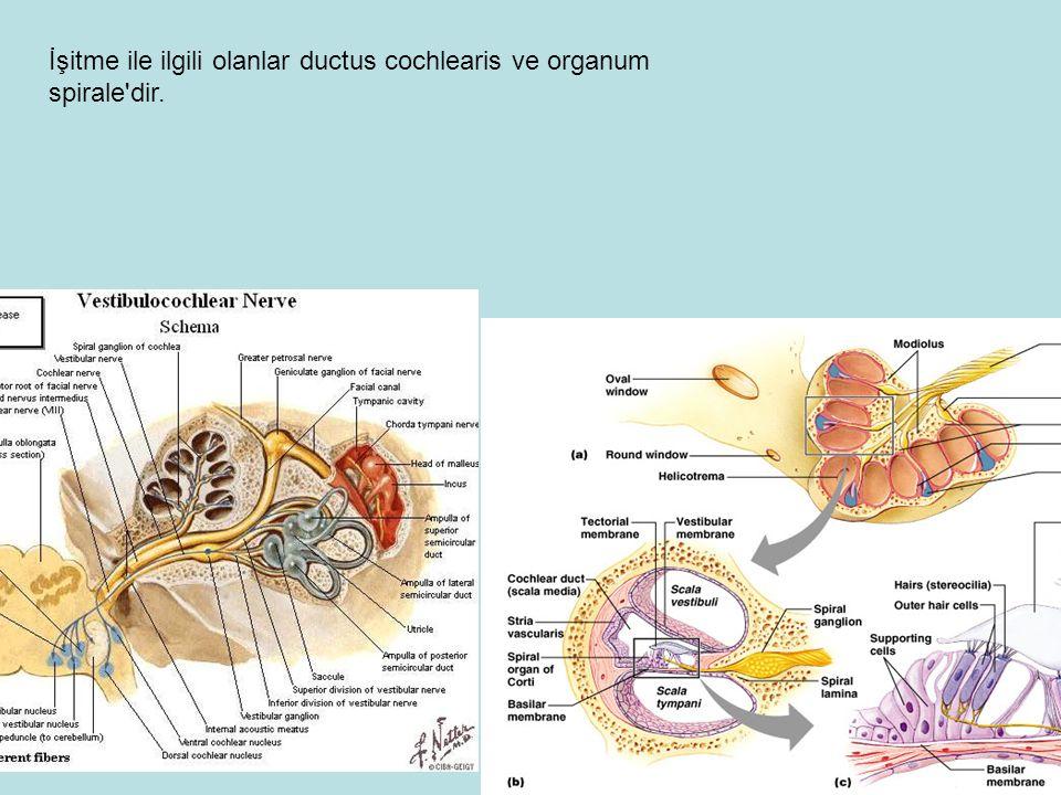 İşitme ile ilgili olanlar ductus cochlearis ve organum spirale dir.