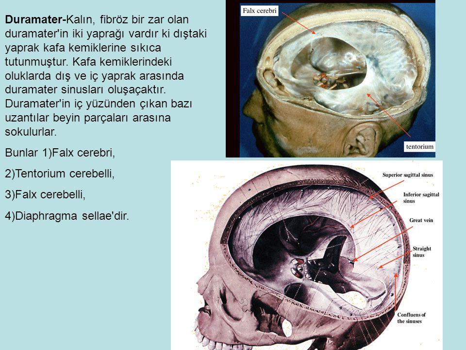 Duramater-Kalın, fibröz bir zar olan duramater in iki yaprağı vardır ki dıştaki yaprak kafa kemiklerine sıkıca tutunmuştur. Kafa kemiklerindeki oluklarda dış ve iç yaprak arasında duramater sinusları oluşaçaktır. Duramater in iç yüzünden çıkan bazı uzantılar beyin parçaları arasına sokulurlar.