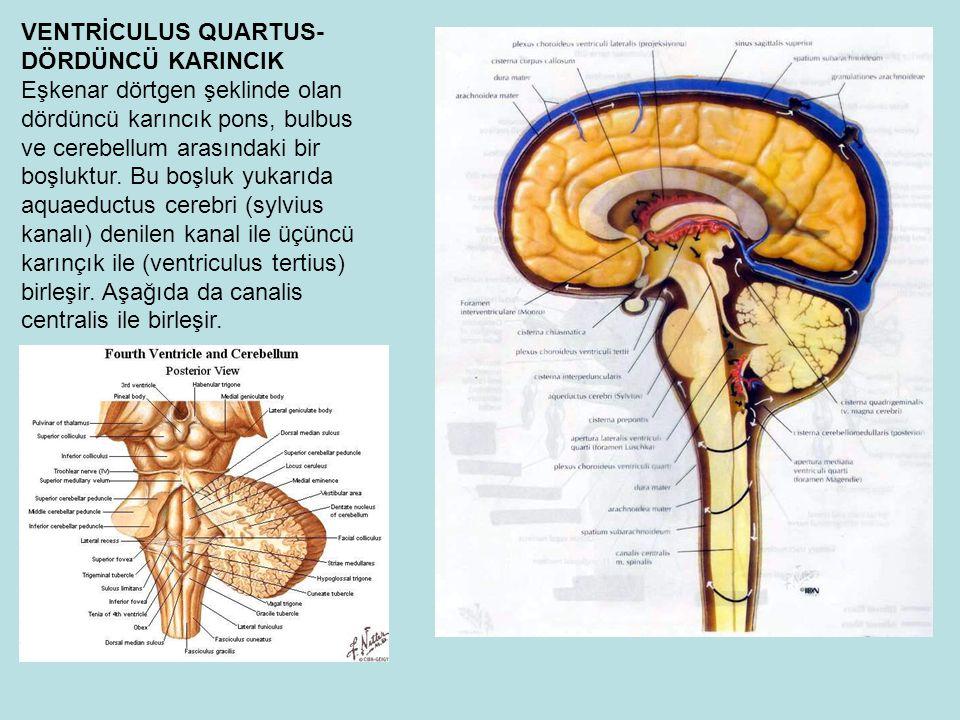 VENTRİCULUS QUARTUS-DÖRDÜNCÜ KARINCIK