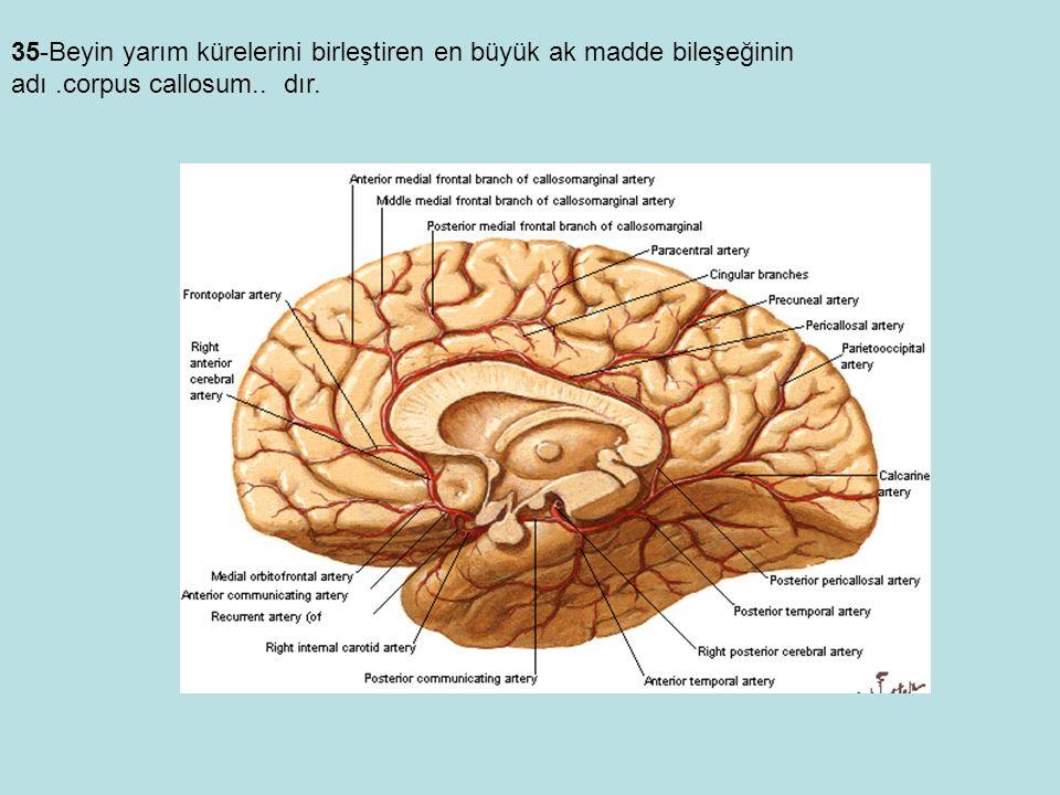 35-Beyin yarım kürelerini birleştiren en büyük ak madde bileşeğinin adı .corpus callosum.. dır.