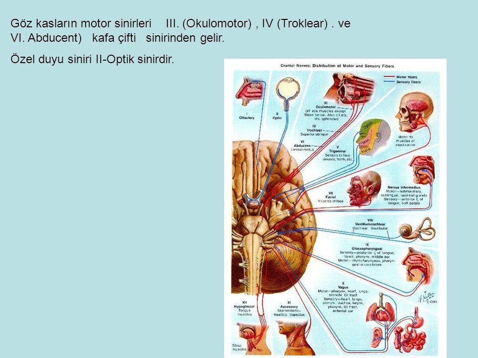 Göz kasların motor sinirleri III. (Okulomotor) , IV (Troklear). ve VI