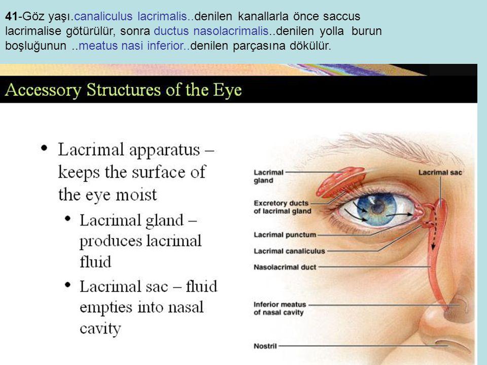 41-Göz yaşı. canaliculus lacrimalis