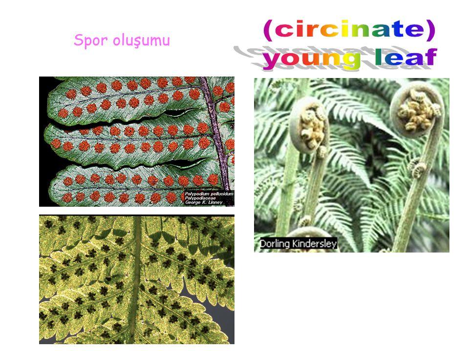 (circinate) young leaf Spor oluşumu