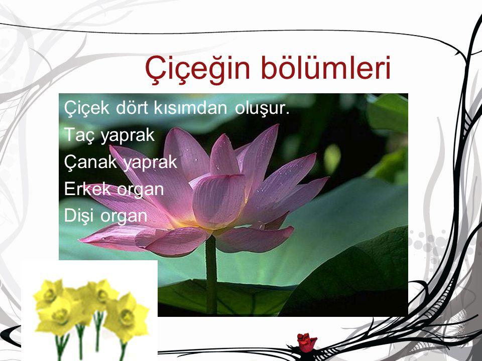 Çiçeğin bölümleri Çiçek dört kısımdan oluşur. Taç yaprak Çanak yaprak