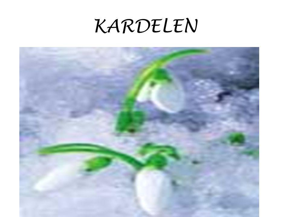 KARDELEN