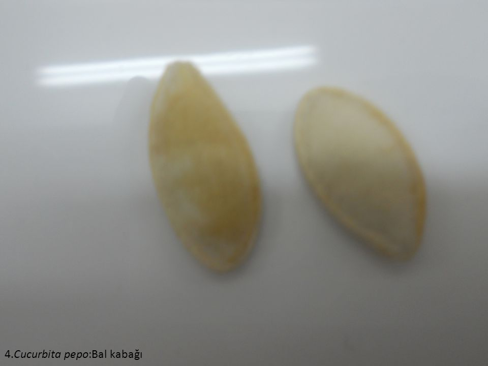 4.Cucurbita pepo:Bal kabağı