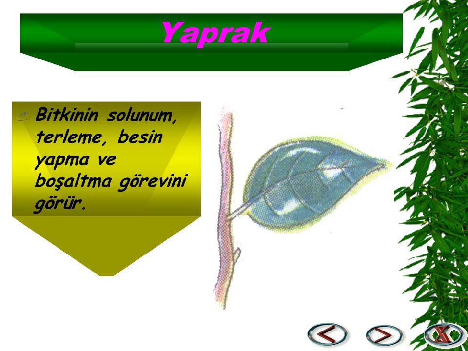 Yaprak Bitkinin solunum, terleme, besin yapma ve boşaltma görevini görür.