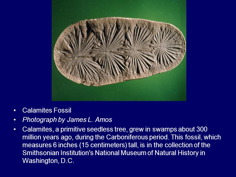 Calamites Fossil Photograph by James L. Amos.