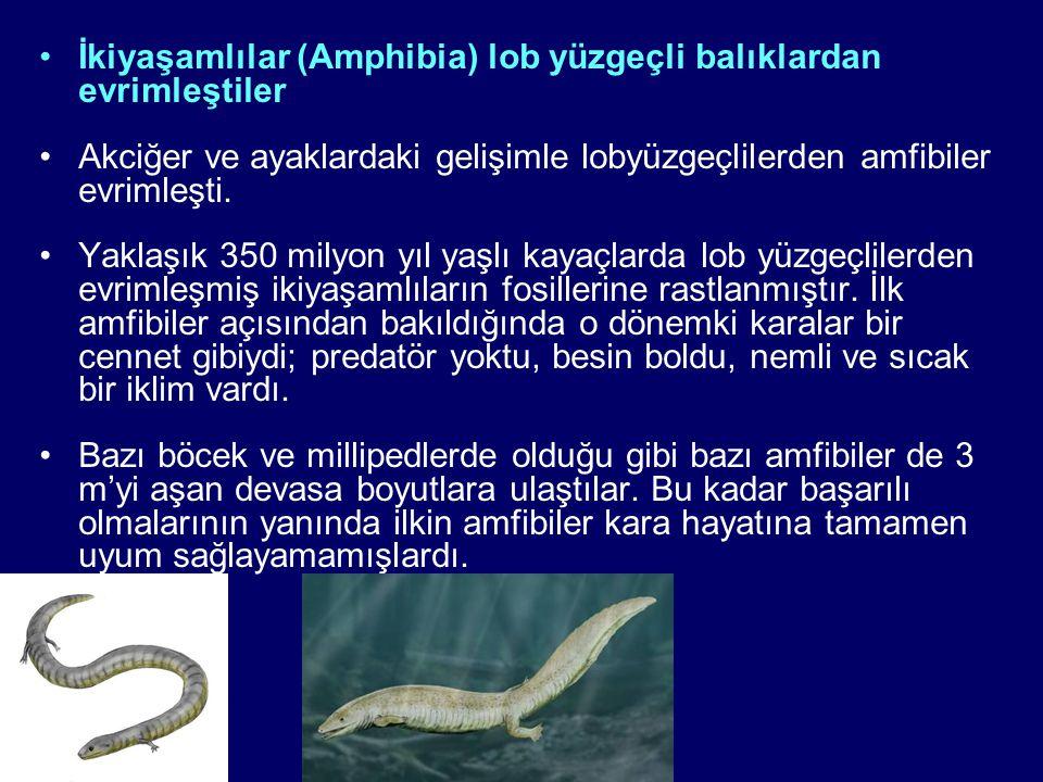 İkiyaşamlılar (Amphibia) lob yüzgeçli balıklardan evrimleştiler