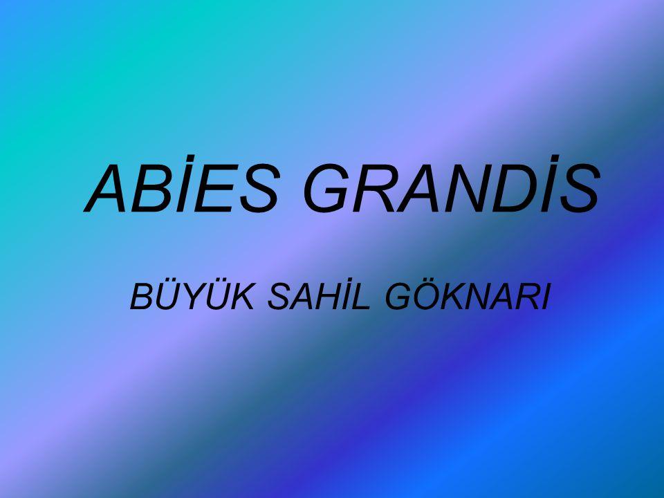 ABİES GRANDİS BÜYÜK SAHİL GÖKNARI