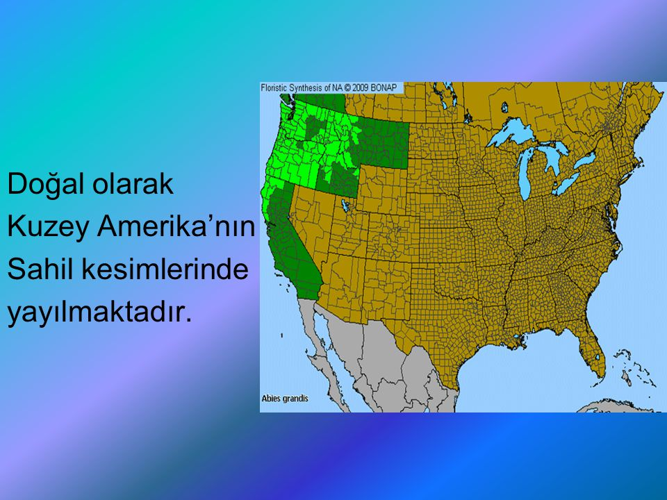 Doğal olarak Kuzey Amerika'nın Sahil kesimlerinde yayılmaktadır.
