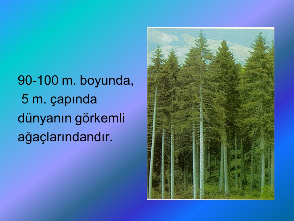 90-100 m. boyunda, 5 m. çapında dünyanın görkemli ağaçlarındandır.