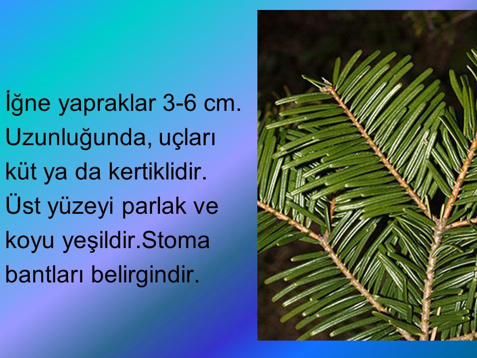 İğne yapraklar 3-6 cm. Uzunluğunda, uçları. küt ya da kertiklidir. Üst yüzeyi parlak ve. koyu yeşildir.Stoma.
