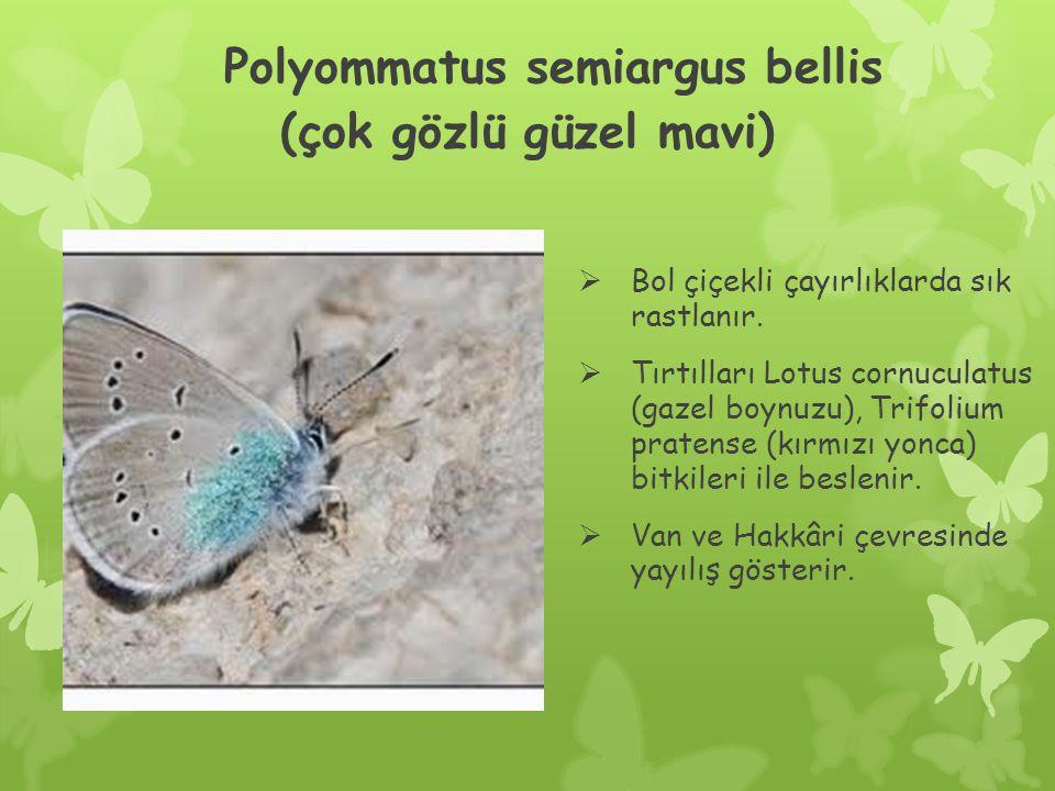 Polyommatus semiargus bellis (çok gözlü güzel mavi)