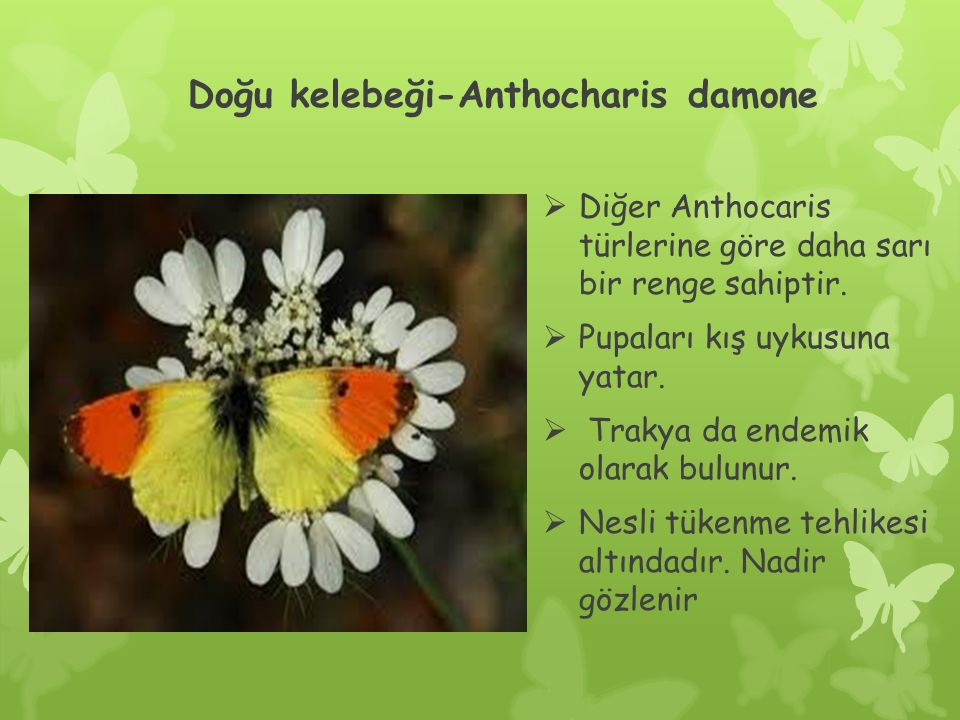 Doğu kelebeği-Anthocharis damone